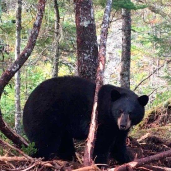 Newfoundland Bear Hunts